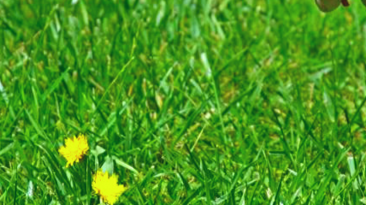 Getting Rid of Weeds in Lawn Or In The Garden